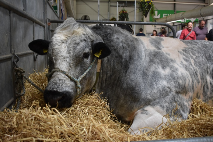 Cow at The Royal Highland Show